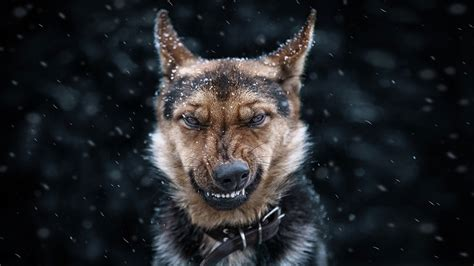 Download Angry Dog Wallpaper Gallery