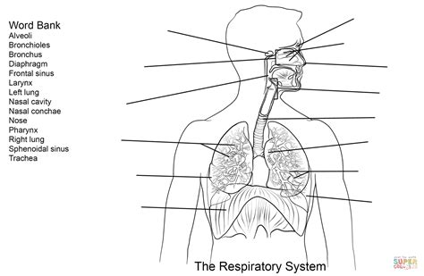 Respiratory System Coloring Page - Coloring Home